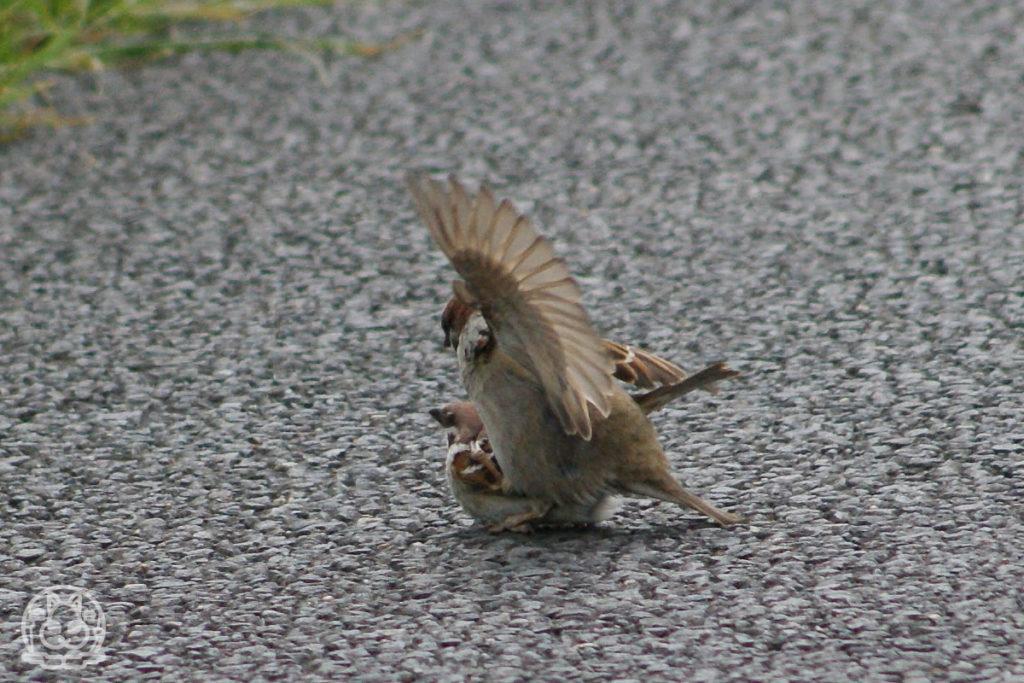 スズメの交尾